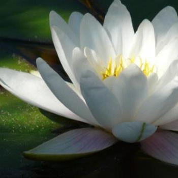 15x11 Digital printed Canvas vintage flower to your wall white water lily (size: 15x11 inch plus border).